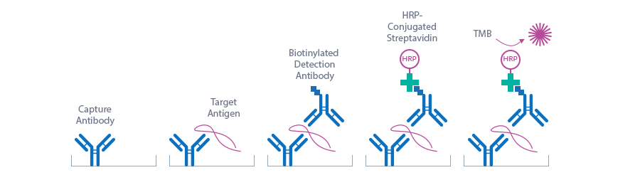 Assay principle biotinylated sandwich Endostatin ELISA
