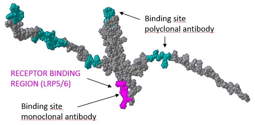 Sclerostin Protein Structure - Epitopes of Capture and Detection Antibody