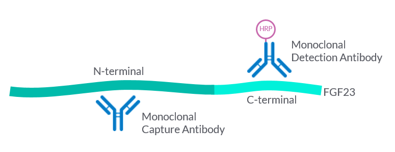Principle of the Detection of human intact FGF23